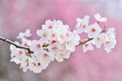 「桜の木の下には・・・」