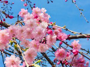 春風駆ける桜の季節とリフォーム物件♪